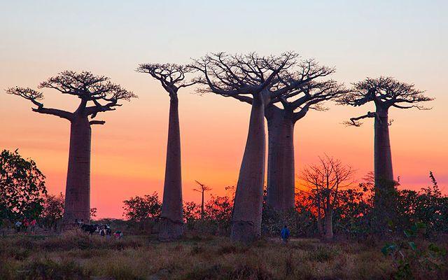 Árboles Adansonia (Madagascar)