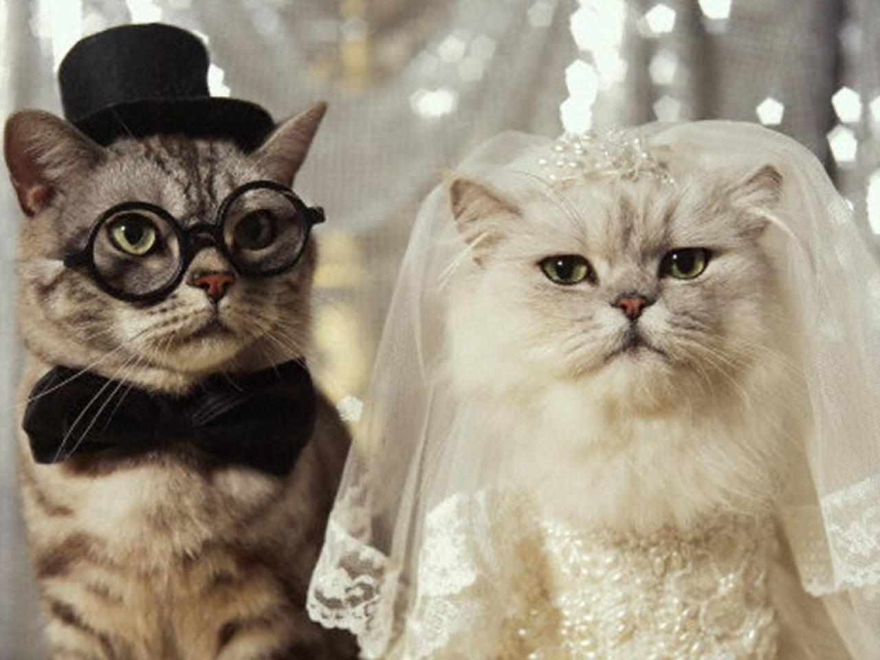 gatos vestidos de novios boda