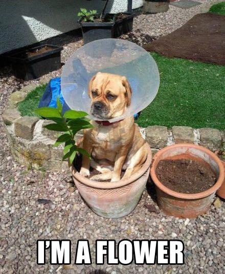 perro con cono en la cabeza encima de una maceta i'm a flower
