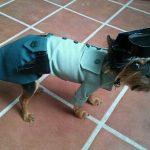 Perro disfrazado de Guardia Civil