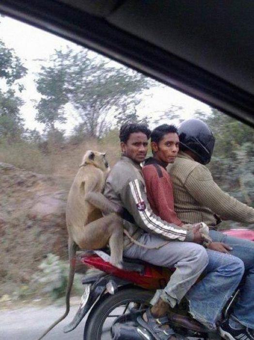 3 en una moto y un mono