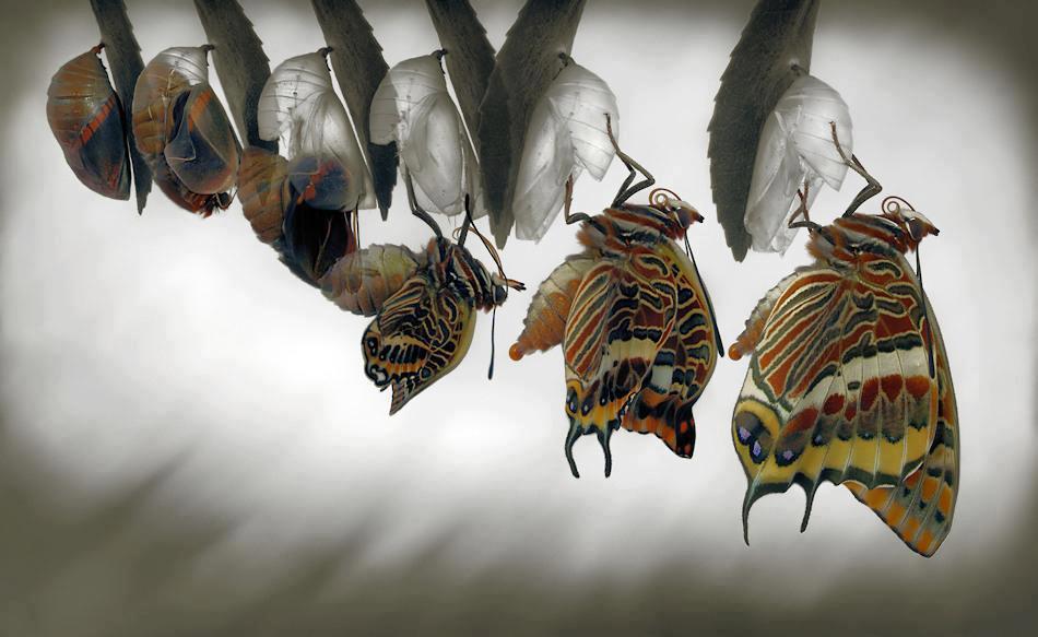 mariposa saliendo de la crisalida