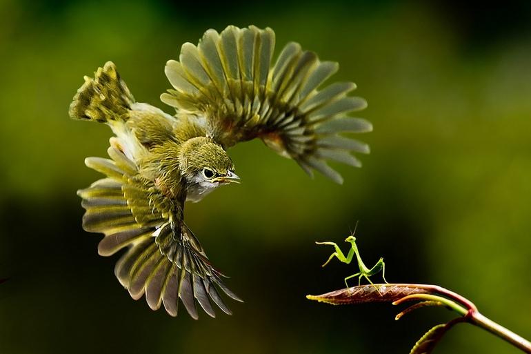 Mantis preparada para el combate