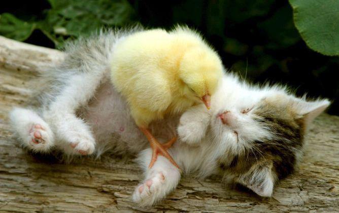 gatito y pollito