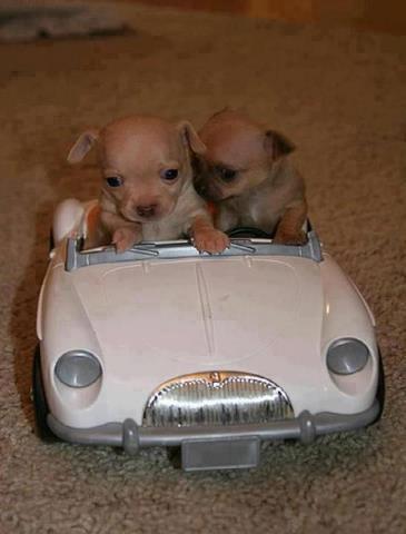 perritos en coche clasico