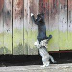 Gatitos ayudándose a subir una valla