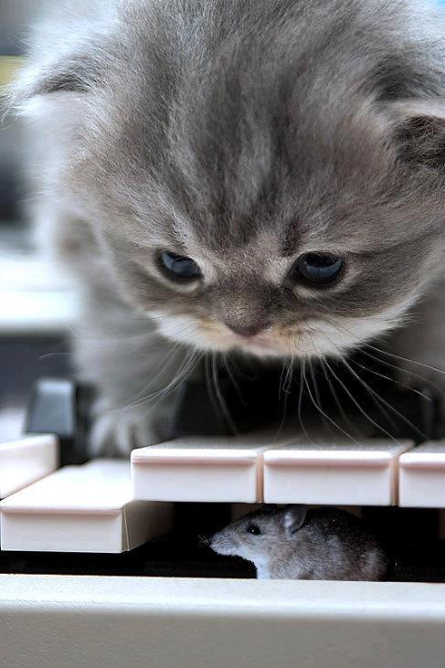 gato buscando a raton debajo de teclas