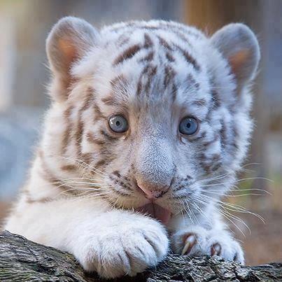 tigre cuqui