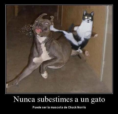 Nunca subestimes a un gato; puede ser la mascota de Chuck Norris