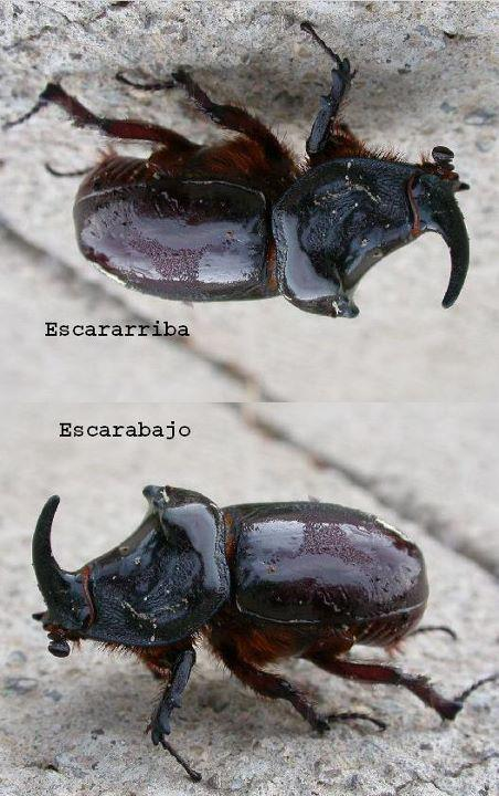 Escarabajo y escararriba (diferencias)
