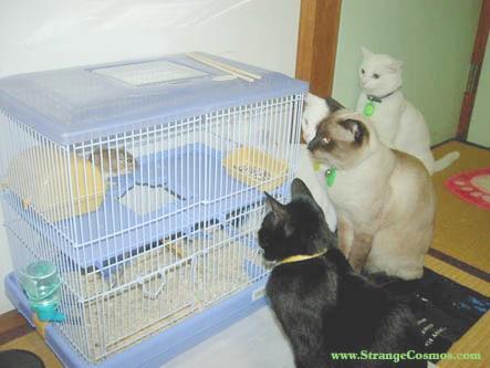 gatos mirando hamster