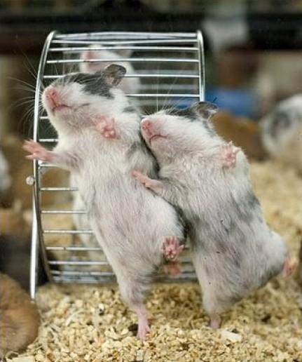 Hamsters bailando
