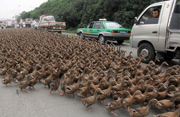 horda de patos