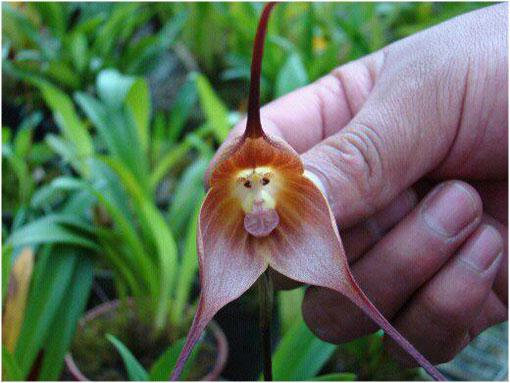 Orquídea-mono