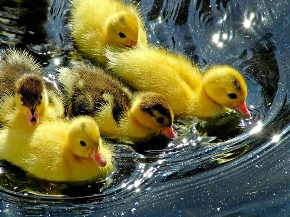 patitos nadando