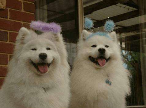 perros con pompones en la cabeza